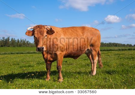 Brown Cow With Horns Posing In A Typical Dutch Landscape
