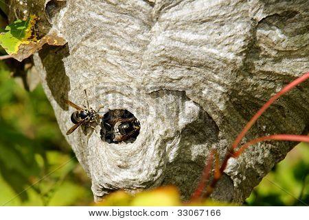 Bald-faced Hornets On Nest