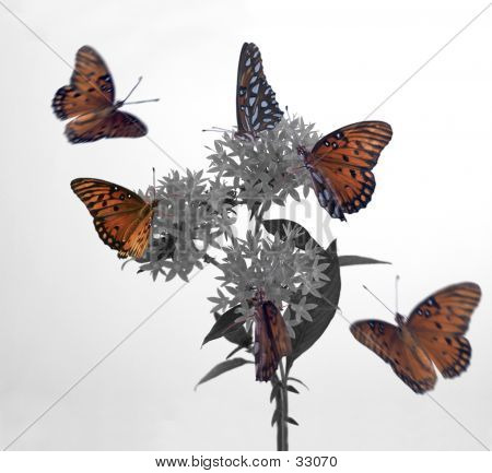 Monarch On Penta