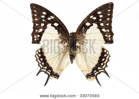 The Great Nawab (Polyura eudamippus) butterfly isolated on white