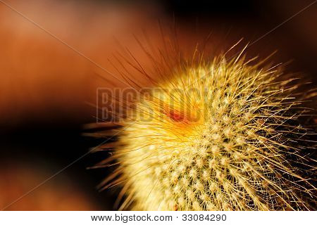 Foxtail Or Fishhook Cactus With Orange Spines