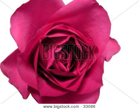 Isolated Red Rose