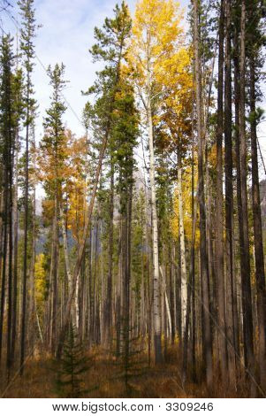 Lodgepole Pines And Aspens