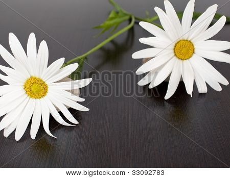 daisies with wenge