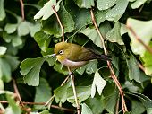 A Japanese Warbling White-eye, Zosterops Japonicus, Also Known As A Mountain White-eye Or Just As A  poster