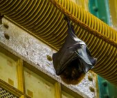 Closeup Of A Rodrigues Flying Fox Hanging On A Rope While Sleeping, Tropical Mega Bat, Endangered An poster