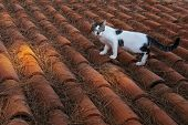 Adorable Spotted Cat Walking On House Rooftop. Cute Domestic Animal On Tiles. Playful Pet Wandering  poster