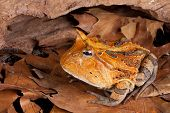 picture of nocturnal animal  - horned toad Ceratophys cornuta - JPG