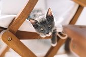 Playful Grey Kitty With White Feet Hanging From Armchair And Looking In Frame. Raising Pets. Domesti poster