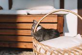Playful Grey Kitty With White Spots Lying On A Pillow In A Basket And Gnaws Handle Of Pannier. Growi poster