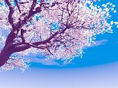 stock photo of cherry-blossom  - Blossoming cherry - JPG