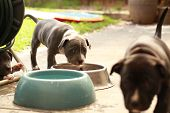 Cute Young 6 Week Old Staffordshire Terrior Pups Playing In Their Family Backyard, Eating From Their poster