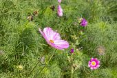 Pink Cosmos Flower Blossom Among Green Foliage, Side View, Backdrop Wallpaper Background. Beautiful  poster