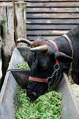 stock photo of castrated  - Farm theme - JPG