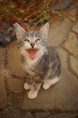 Pale Grey Meowing Kitten Portrait. Cat Yawns. Funny Domestic Animals. poster