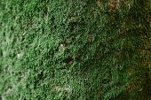 Close Up Of Green Moss On Wood In The Rainy Season, Selective Focus, Environment Concept, Copy Space poster
