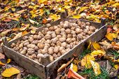 A Wooden Box With Collected Walnuts On The Ground With Yellow Leaves. Walnuts Are The Fruits Of Any  poster