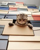 Angry Cat Scottish Fold Climbed Into A Pile Of Folded Shoe Boxes And Stares Down Sternly. Bottom Vie poster