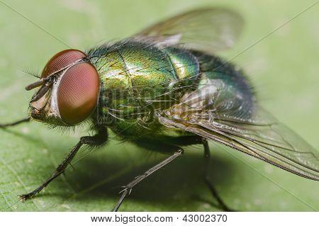 Green Housefly