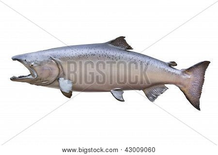 Big King Or Chinook Salmon Isolated On White