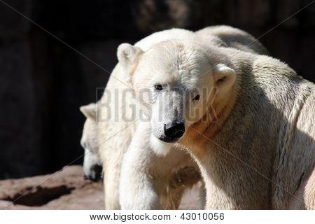 Ice- or Polarbear