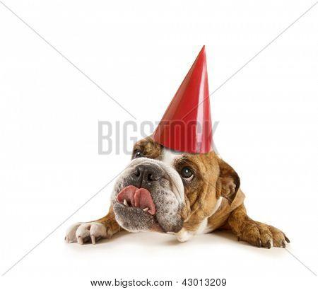 a big bulldog with a birthday hat on