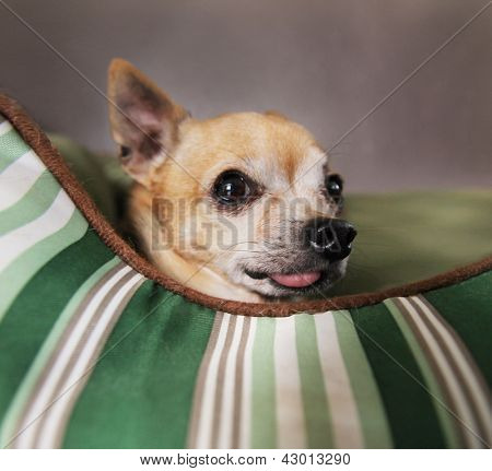 a cute  chihuahua in a pet bed