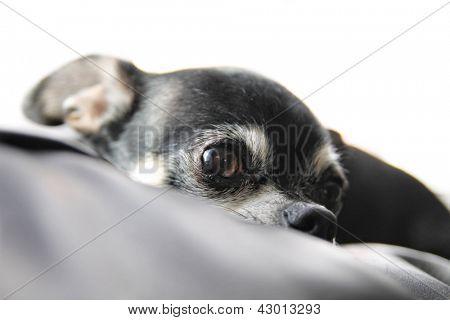 a cute  chihuahua resting