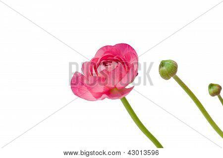 Peônia-de-rosa