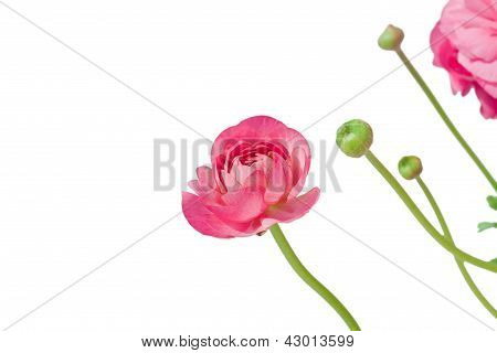 Peony Flower And Buds