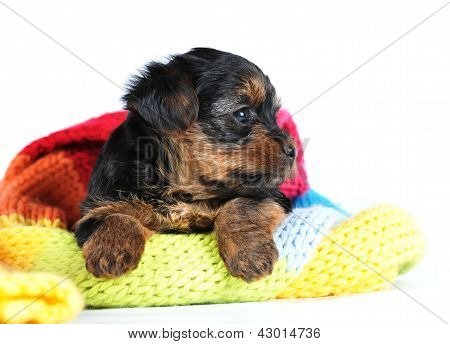 Yorkshire Terrier Portrait Puppy Profile