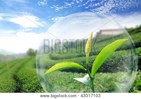 Green Tea Leaf Organic