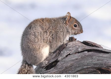 Gray Squirrel In Winter