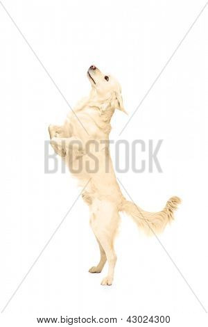 White retriever dog standing upright on his legs isolated on white background