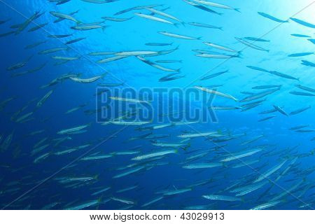 Shoal of Yellowtail Barracuda Fish underwater