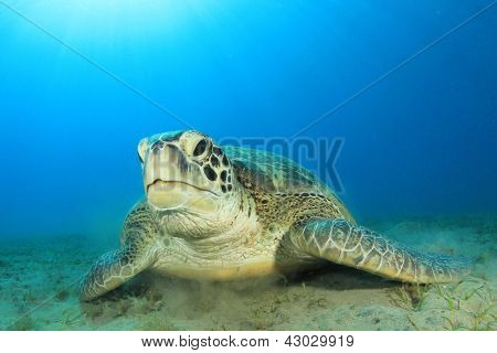 Green Sea Turtle (Chelonia mydas) underwater feeding on sea grass