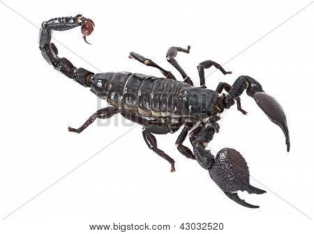 Emperor Scorpion Over White