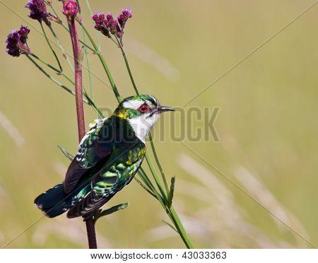 Diederick Cuckoo Sitting On Stem
