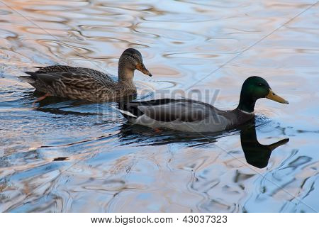 Two Ducks In The Pond