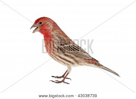 House Finch Isolated