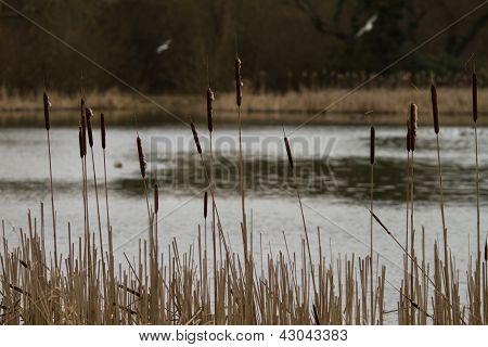 Reeds, Bulrush, Reedrace