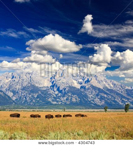 Bisons In Grand Teton National Park