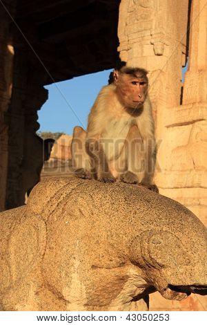 Monkey in Hanuman Temple, Hampi, India.