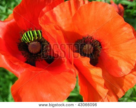 beautiful red flowers of the poppy