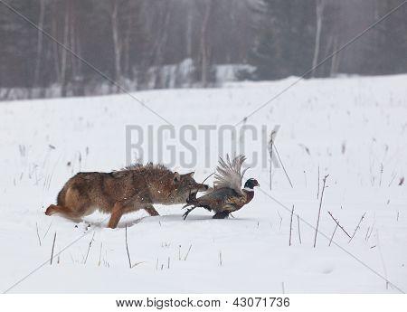 Coyote chasing pheasant