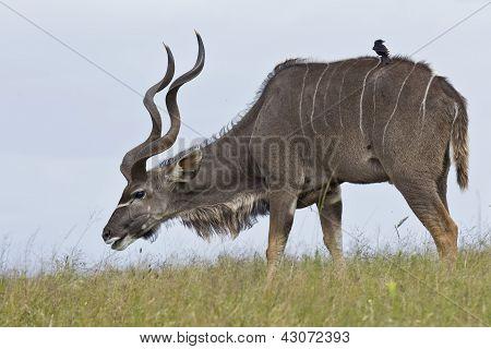 Kudu Grazing