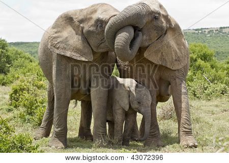 Elephant Affection