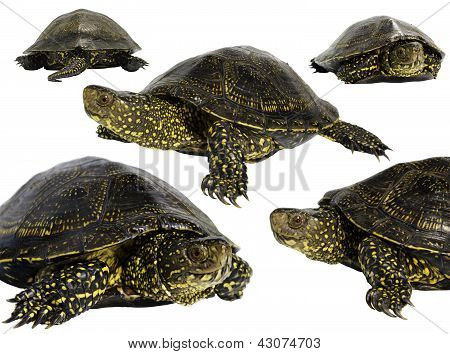 The European pond turtle (Emys orbicularis)