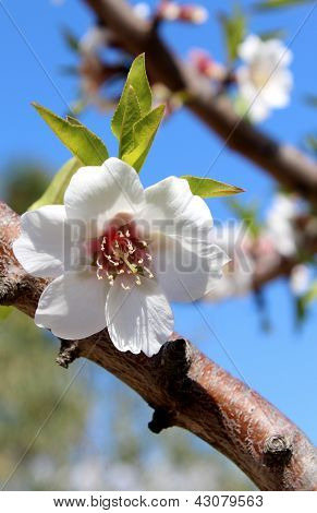 Blossom On Sweet Almond Tree (species: Prunus Amygdalus, Syn. Prunus Dulcis)