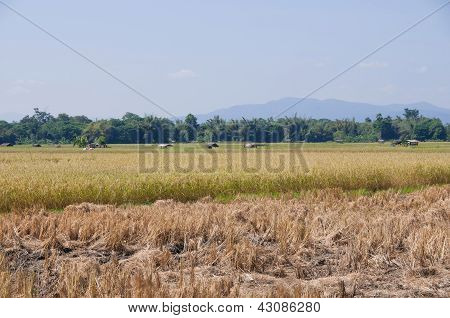 Rice In Thailand